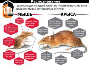 Могут ли мыши лазить по стенам
